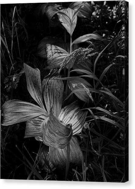 Canvas Print featuring the photograph Indian Hellebore 6 by Trever Miller