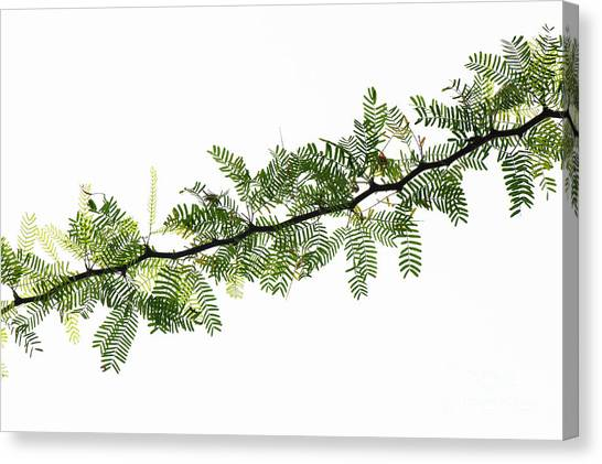 Mimosa Canvas Print - Indian Needle Bush Tree Leaves by Tim Gainey