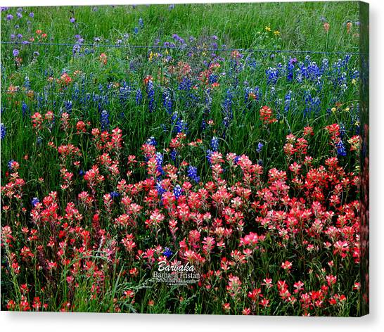 Indian Paintbrush #0486 Canvas Print