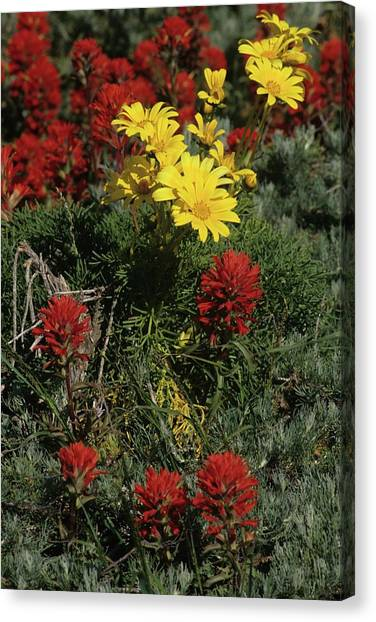 Indian Paintbrush And Sea Dahlia Blooming Canvas Print