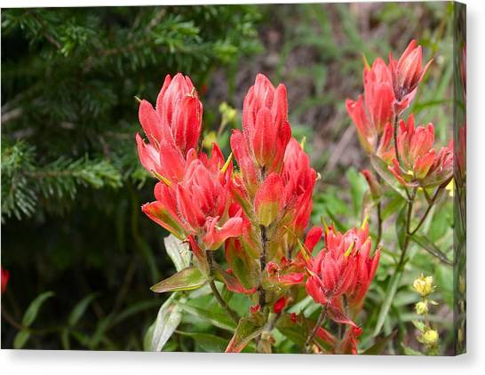 Indian Paintbrush Canvas Print by Perspective Imagery