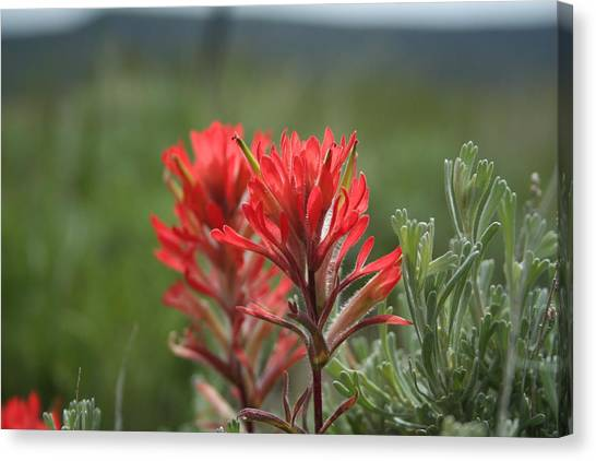 Indian Paintbrush Canvas Print by Susan Pedrini