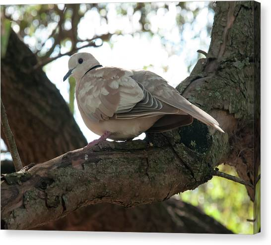 Canvas Print featuring the photograph Indian Ringneck Dove by Chris Flees