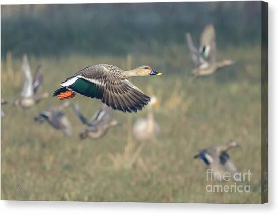 Indian Spot-billed Duck 01 Canvas Print