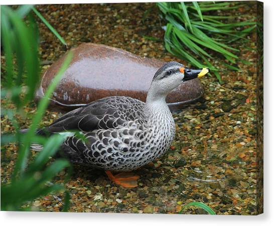 Indian Spot-billed Duck Canvas Print