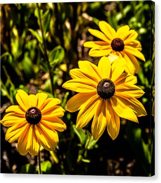 Indian Summer Gloriosa Daisy Canvas Print