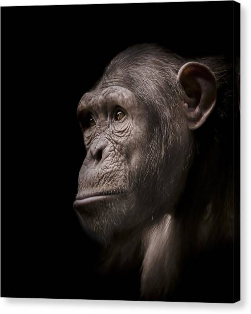 Chimpanzees Canvas Print - Indignant by Paul Neville