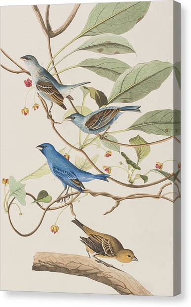 Breed Canvas Print - Indigo Bird by John James Audubon