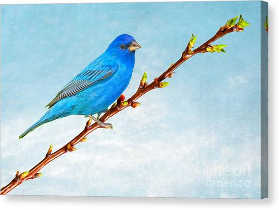 Bunting Canvas Print - Indigo Bunting by Laura D Young