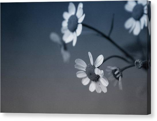 Daisy Canvas Print - Indigo Daisies 2- Art By Linda Woods by Linda Woods