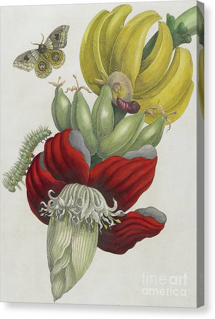 Banana Tree Canvas Print - Inflorescence Of Banana, 1705 by Maria Sibylla Graff Merian
