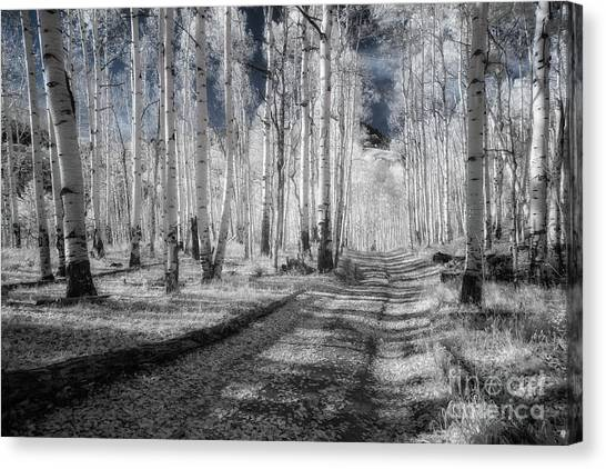 Infrared Aspens Canvas Print