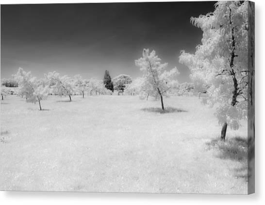 Infrared Peach Orchard Canvas Print