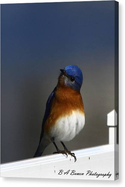 Inquisitive Bluebird Canvas Print