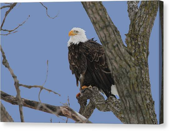 Inqusitive Look Canvas Print by Dave Clark