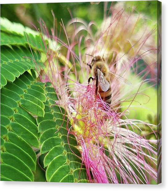 Mimosa Canvas Print - #insectagram #bee #tree #mimosa by Kazan Durante