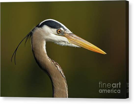 Intensity Of A Heron Canvas Print