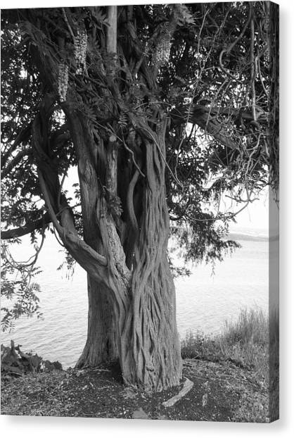 Intertwined For Life Black And White Canvas Print by Jennifer Compton