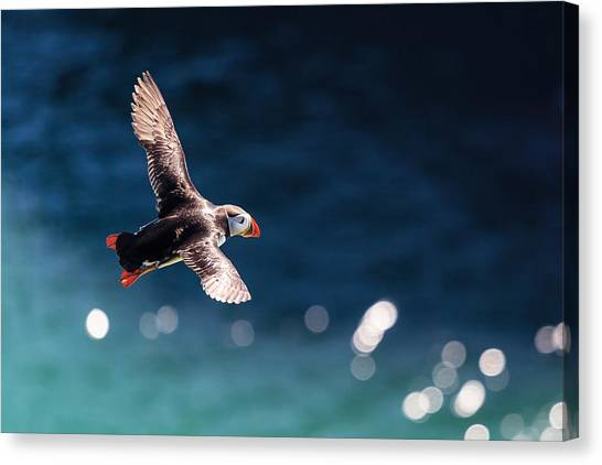 Puffin Canvas Print - Into The Light by Ingi T. Bjornsson