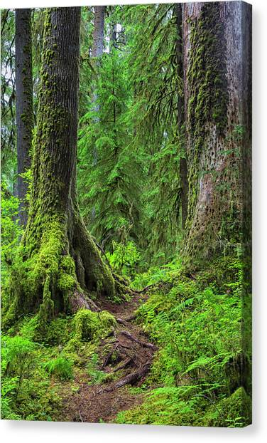 Olympic Peninsula Canvas Print - Into The Woods by Stephen Stookey