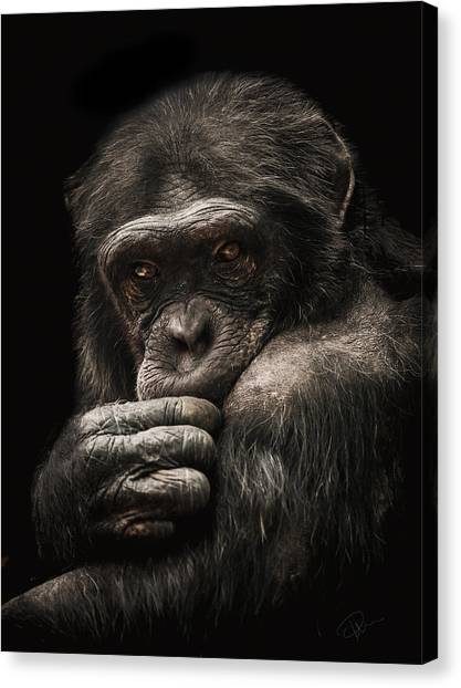 Chimpanzees Canvas Print - Introvert by Paul Neville