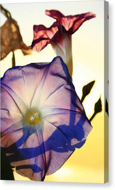 Ipomoea With Rising Sun Behind Canvas Print