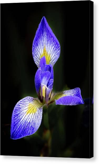 Iris #1 Canvas Print