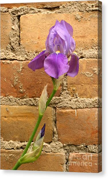 Iris And The Wall Canvas Print