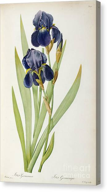 Botanical Canvas Print - Iris Germanica by Pierre Joseph Redoute