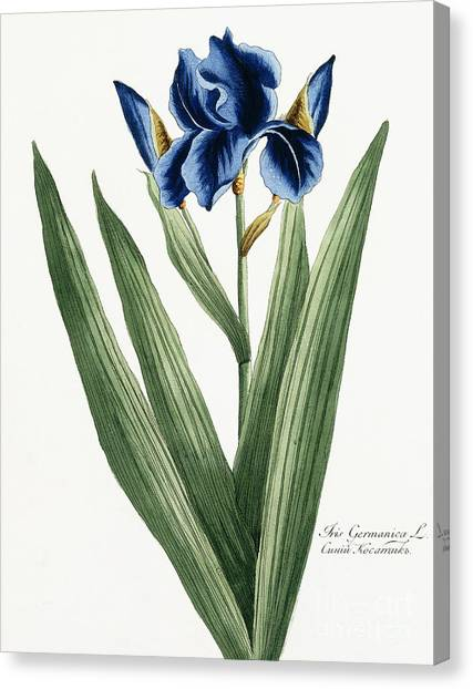 Russian Blue Canvas Print - Iris Germanica by Russian School