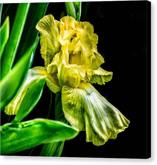 Iris In Bloom Canvas Print