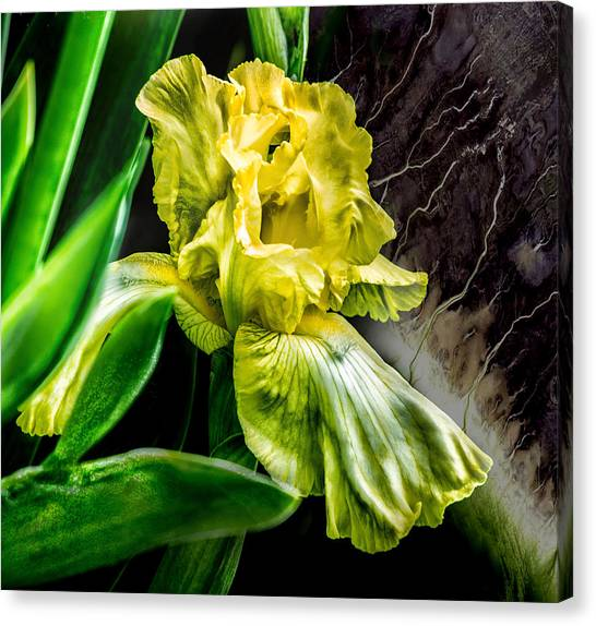 Iris In Bloom Two Canvas Print