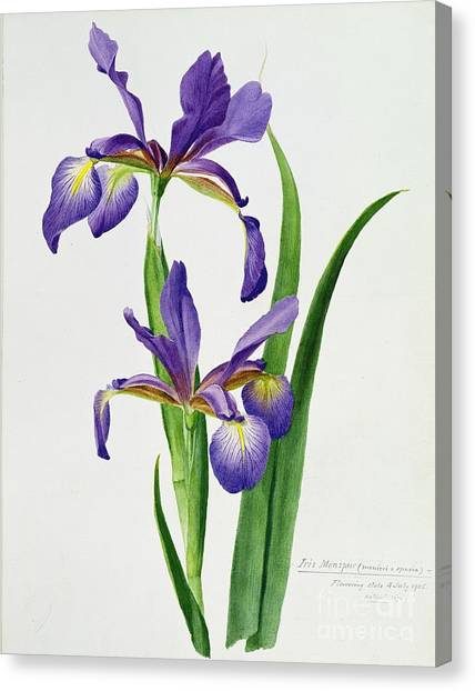 Purple Canvas Print - Iris Monspur by Anonymous