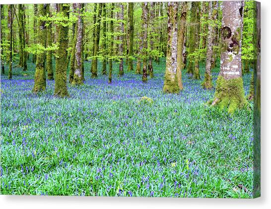 Irish Bluebell Woods - Lissadell, Sligo - New Leaves On The Trees And With A Carpet Of Blue Under Canvas Print
