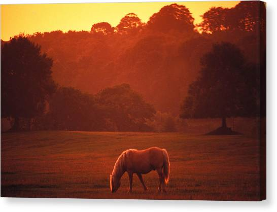 Irish Horse In Gloaming Canvas Print by Carl Purcell