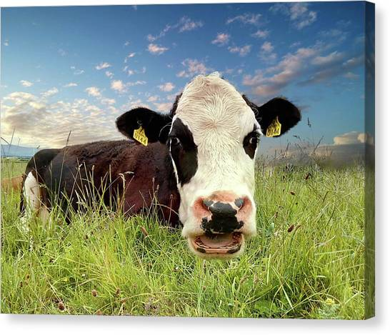 Irish Talking Cow Canvas Print