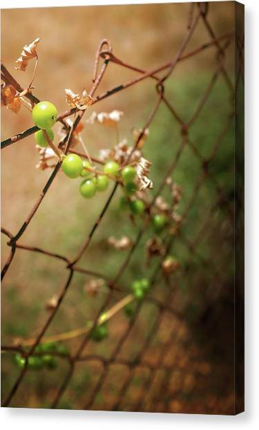 Wild Berries Canvas Print - Iron Net Fence by Carlos Caetano