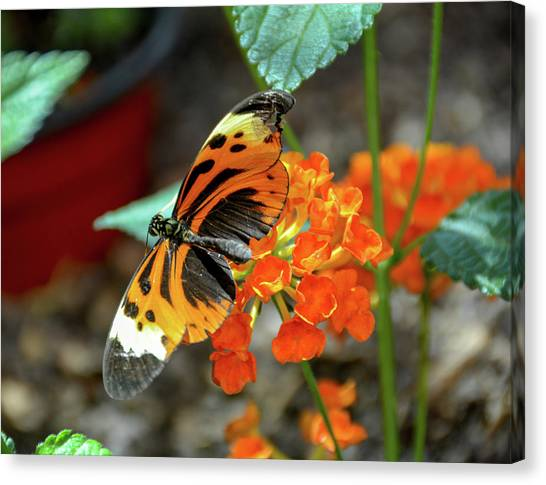 Ismenius Tiger Butterfly Canvas Print