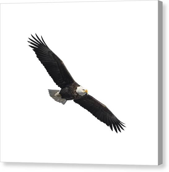 Isolated American Bald Eagle 2016-2 Canvas Print