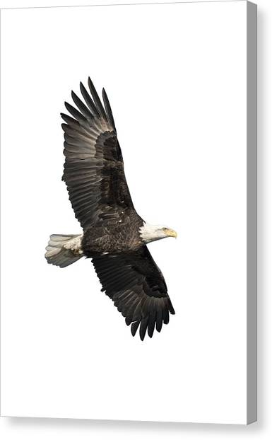 Isolated American Bald Eagle 2016-4 Canvas Print