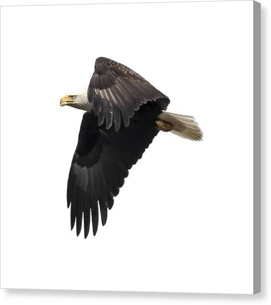 Isolated American Bald Eagle 2016-6 Canvas Print