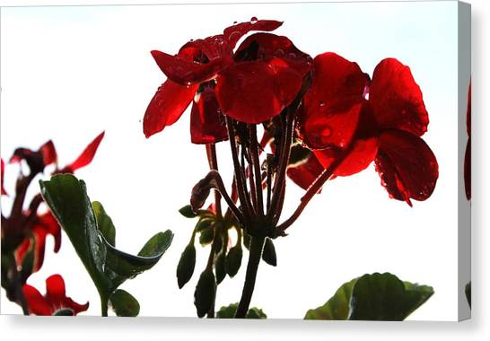 Isolated Red Geranium Canvas Print by Karen Fowler