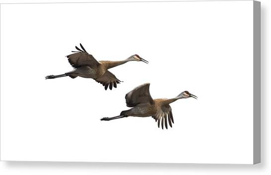 Isolated Sandhill Cranes 2016-1 Canvas Print