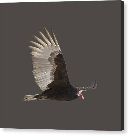 Isolated Turkey Vulture 2014-1 Canvas Print