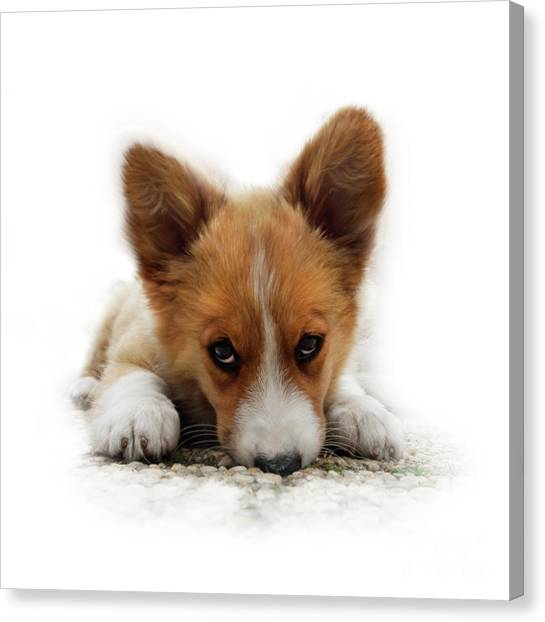 It Wasn't Me Corgi Canvas Print
