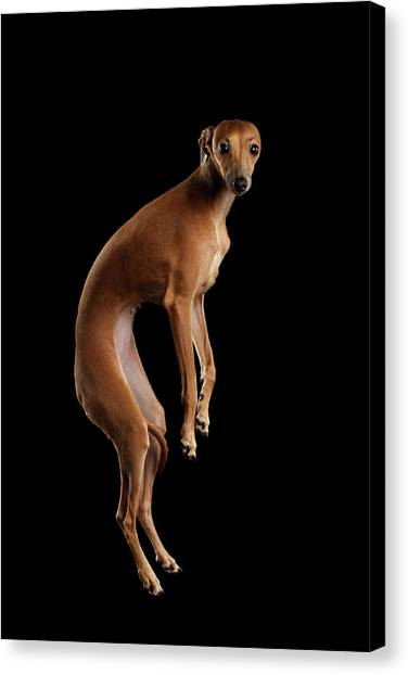 Dog Canvas Print - Italian Greyhound Dog Jumping, Hangs In Air, Looking Camera Isolated by Sergey Taran