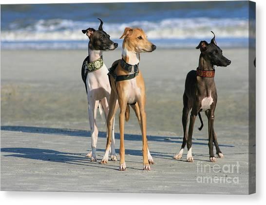 Italian Greyhounds On The Beach Canvas Print