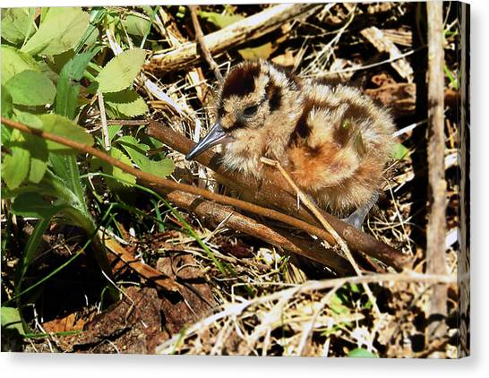 Woodcock Canvas Print - It's A Baby Woodcock by Asbed Iskedjian