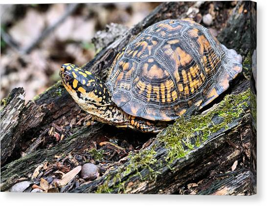 Box Turtles Canvas Print - It's A Scary World Out There by JC Findley