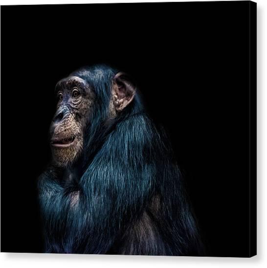 Chimpanzee Canvas Print - Its Cold by Martin Newman